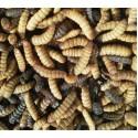 Live black soldier flies larvae (BSF larvae)