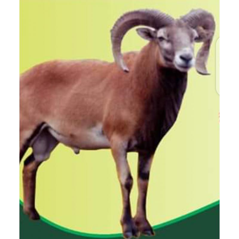 Deccni Sheep