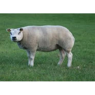Texel Sheep...