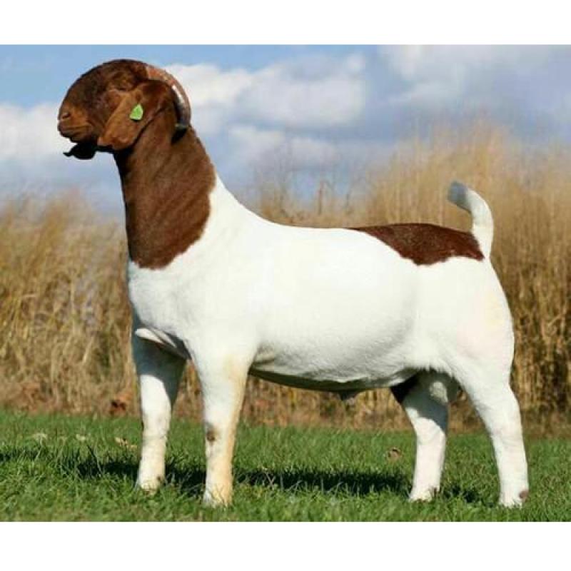 Male  Sojat Goat